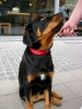 Lac Caninum Rottweiler junges